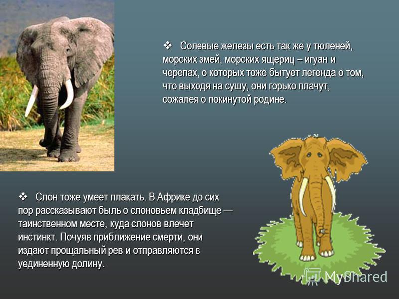 Слон тоже умеет плакать. В Африке до сих пор рассказывают быль о слоновьем кладбище таинственном месте, куда слонов влечет инстинкт. Почуяв приближение смерти, они Слон тоже умеет плакать. В Африке до сих пор рассказывают быль о слоновьем кладбище та