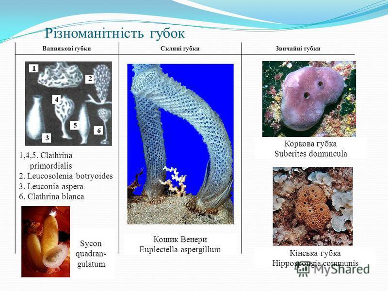 Різноманітність губок Вапнякові губкиСкляні губкиЗвичайні губки 1,4,5. Clathrina primordialis 2. Leucosolenia botryoides 3. Leuconia aspera 6. Clathrina blanca Кошик Венери Euplectella aspergillum Кінська губка Hippospongia communis Коркова губка Sub