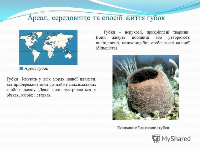 Ареал, середовище та спосіб життя губок Губки – нерухомі, прикріплені тварини. Вони живуть поодинці або утворюють циліндричні, келихоподібні, стебельчасті колонії (більшість). Келихоподібна колонія губки Ареал губок Губки існують у всіх морях нашої п