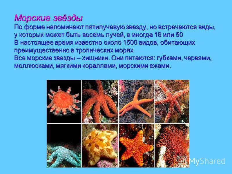 Морские звёзды По форме напоминают пятилучевую звезду, но встречаются виды, у которых может быть восемь лучей, а иногда 16 или 50 В настоящее время известно около 1500 видов, обитающих преимущественно в тропических морях Все морские звезды – хищники.