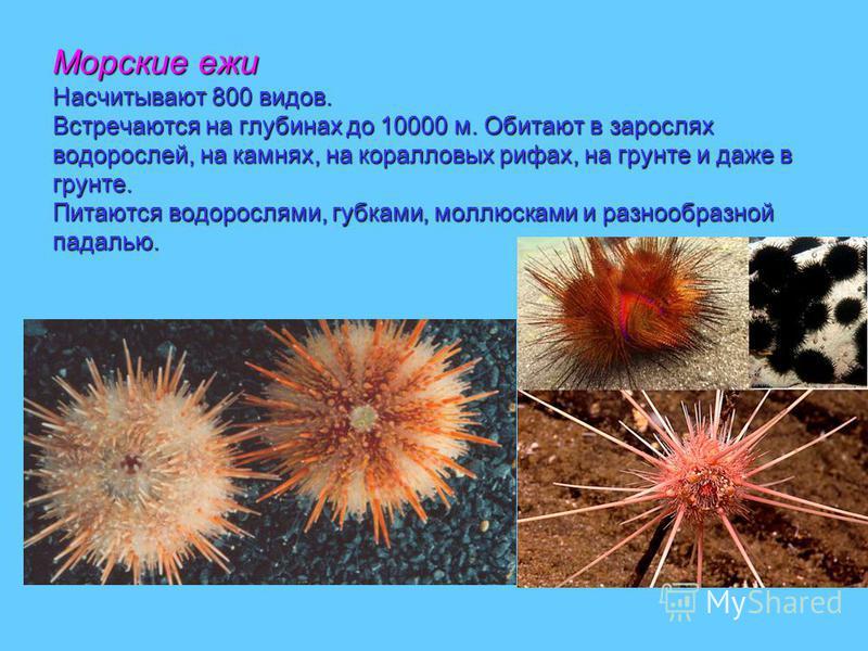 Морские ежи Насчитывают 800 видов. Встречаются на глубинах до 10000 м. Обитают в зарослях водорослей, на камнях, на коралловых рифах, на грунте и даже в грунте. Питаются водорослями, губками, моллюсками и разнообразной падалью.