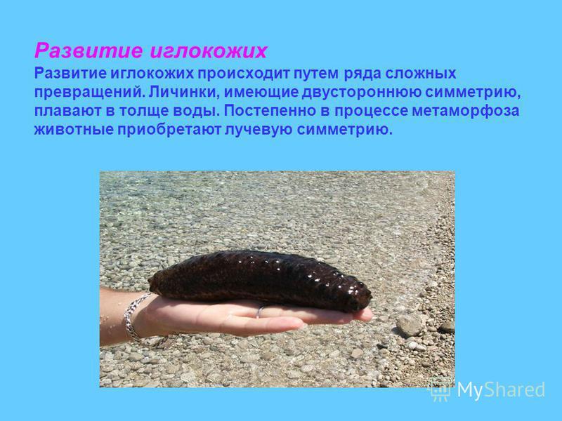 Развитие иглокожих Развитие иглокожих происходит путем ряда сложных превращений. Личинки, имеющие двустороннюю симметрию, плавают в толще воды. Постепенно в процессе метаморфоза животные приобретают лучевую симметрию.