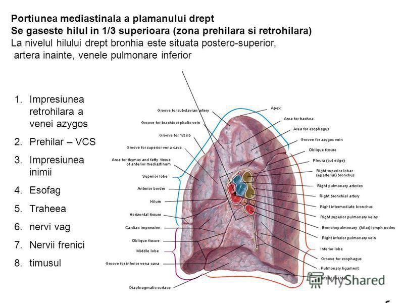 Portiunea mediastinala a plamanului drept Se gaseste hilul in 1/3 superioara (zona prehilara si retrohilara) La nivelul hilului drept bronhia este situata postero-superior, artera inainte, venele pulmonare inferior 1.Impresiunea retrohilara a venei a