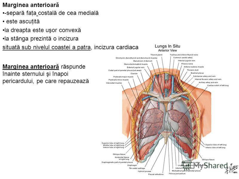 Marginea anterioară -separă faţa costală de cea medială este ascuţită la dreapta este uşor convexă la stânga prezintă o incizura situată sub nivelul coastei a patra, incizura cardiaca Marginea anterioară răspunde înainte sternului şi înapoi pericardu