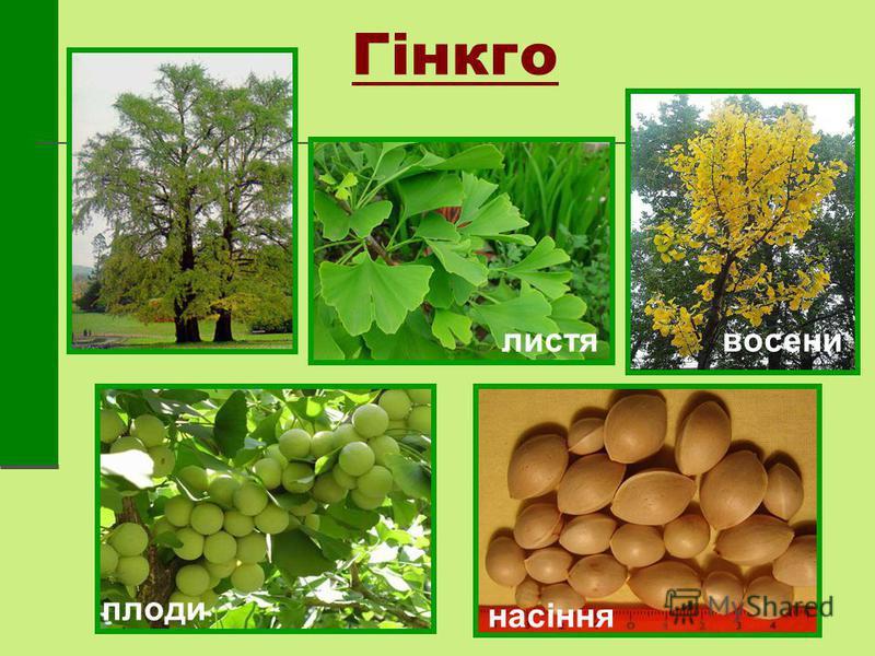 Гінкго листявосени плоди насіння
