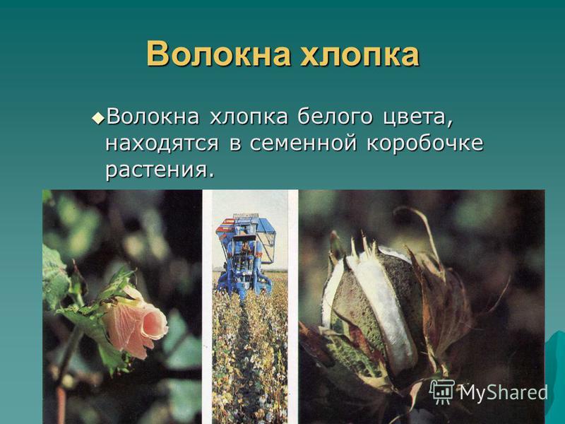 Растительные волокна Растительные волокна получают из хлопчатника и льна Растительные волокна получают из хлопчатника и льна