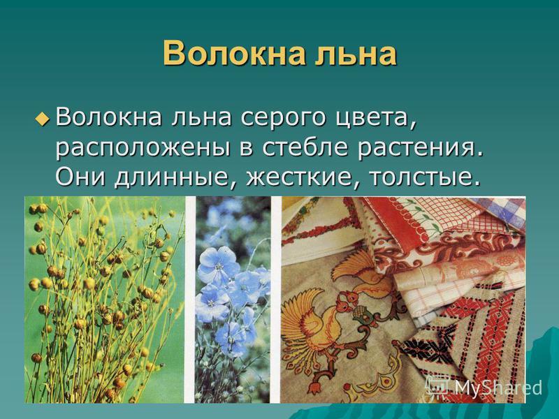 Волокна хлопка Волокна хлопка белого цвета, находятся в семенной коробочке растения. Волокна хлопка белого цвета, находятся в семенной коробочке растения.