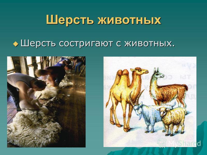 Волокна животного происхождения ЭТО: ЭТО: 1. Шерсть овец 2. Шерсть коз 3. Шерсть верблюдов 4. Волокно натурального шёлка
