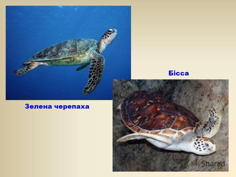 Зелена черепаха Бісса