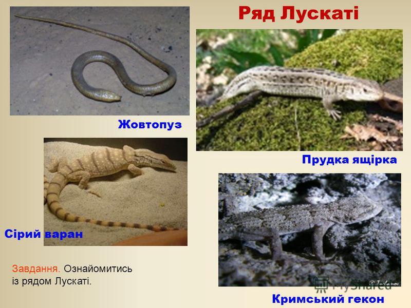 Ряд Лускаті Жовтопуз Прудка ящірка Кримський гекон Сірий варан Завдання. Ознайомитись із рядом Лускаті.
