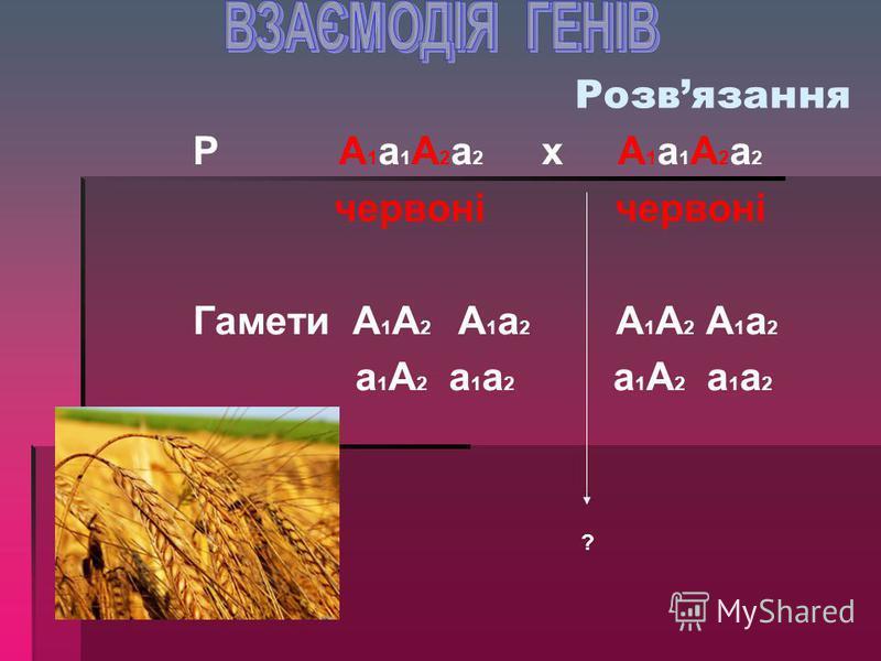 Задача на кумулятивну полімері ю Червоне забарвлення зерен пшениці визначається двома парами неалельних незчеплених генів: А 1 та А 2. Кожен з домінантних алелей визначає червоне забарвлення, а рецесивні – біле. Один домінан - тний ген дає слабкозаба