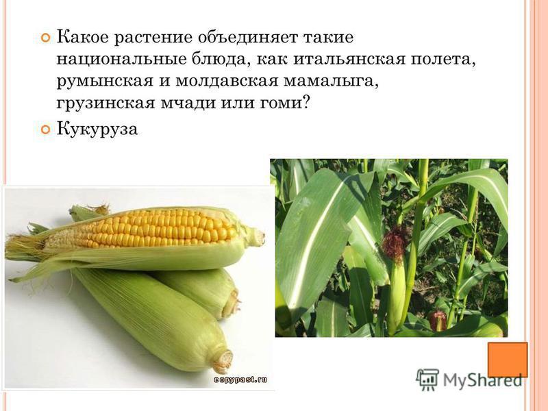 Какое растение объединяет такие национальные блюда, как итальянская полета, румынская и молдавская мамалыга, грузинская мчади или гоми? Кукуруза