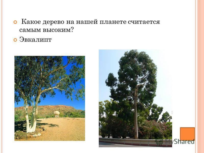 Какое дерево на нашей планете считается самым высоким? Эвкалипт