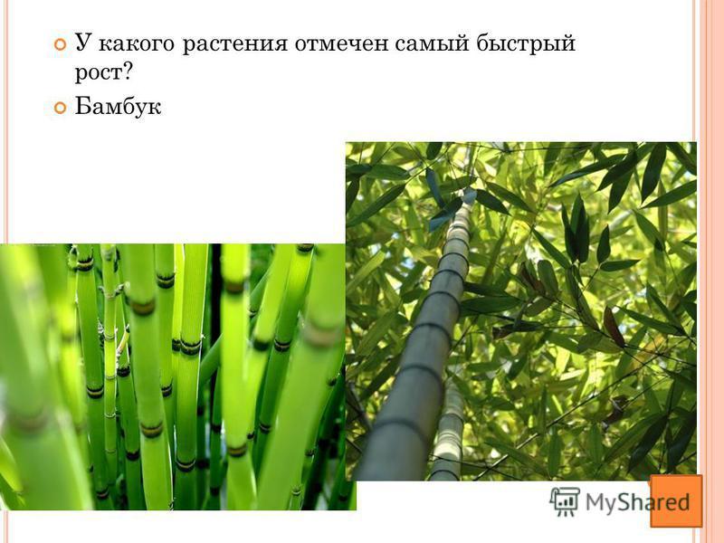 У какого растения отмечен самый быстрый рост? Бамбук