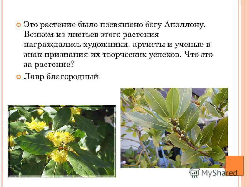 Это растение было посвящено богу Аполлону. Венком из листьев этого растения награждались художники, артисты и ученые в знак признания их творческих успехов. Что это за растение? Лавр благородный