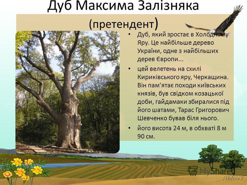 Дуб Максима Залізняка (претендент ) Дуб, який зростає в Холодному Яру. Це найбільше дерево України, одне з найбільших дерев Європи... цей велетень на схилі Кириківського яру, Черкащина. Він памятає походи київських князів, був свідком козацької доби,