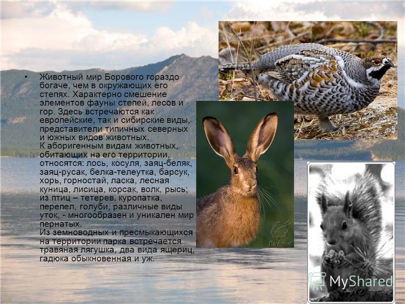 Животный мир Борового гораздо богаче, чем в окружающих его степях. Характерно смешение элементов фауны степей, лесов и гор. Здесь встречаются как европейские, так и сибирские виды, представители типичных северных и южных видов животных. К аборигенным