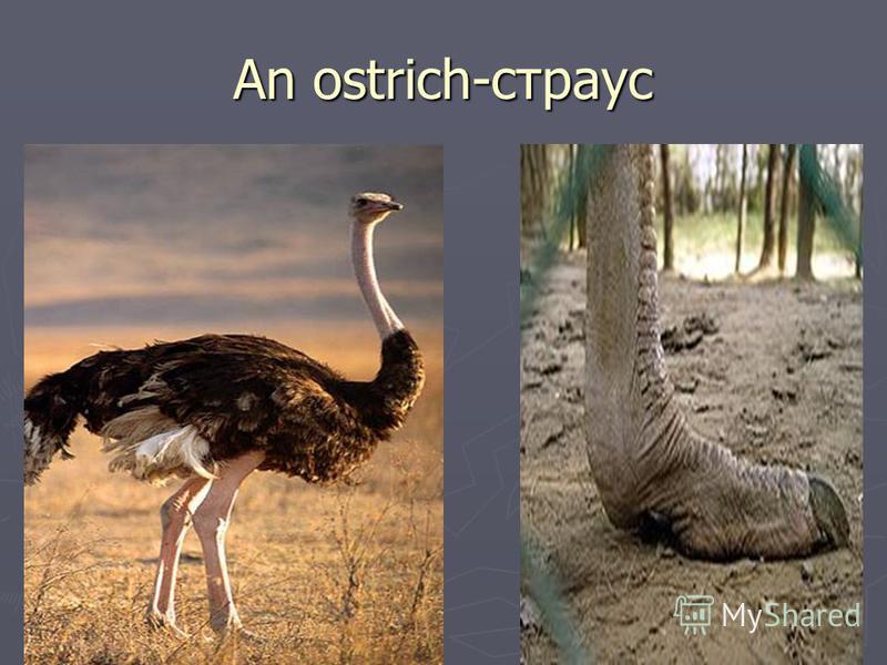 An ostrich-страус