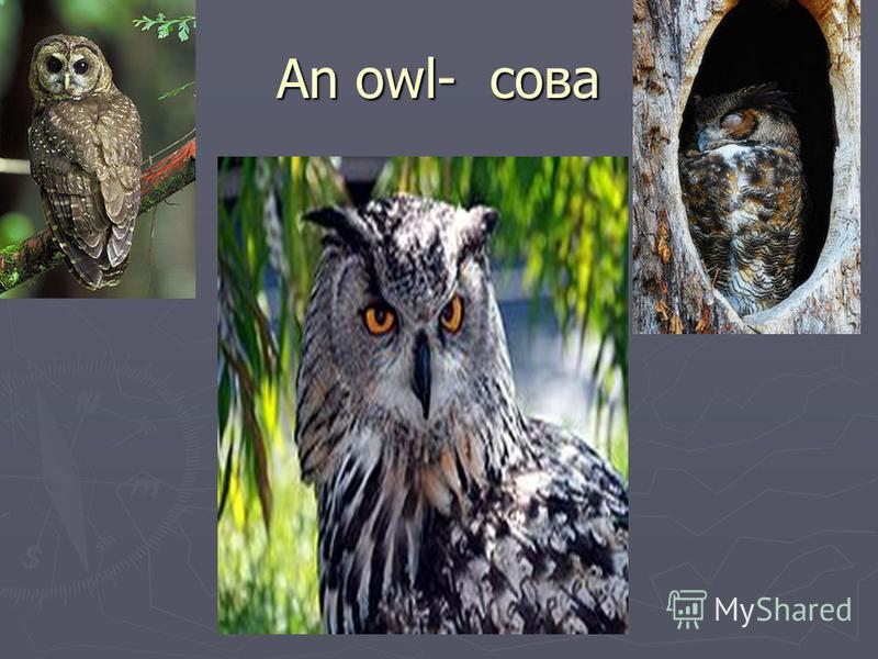 An owl- сова