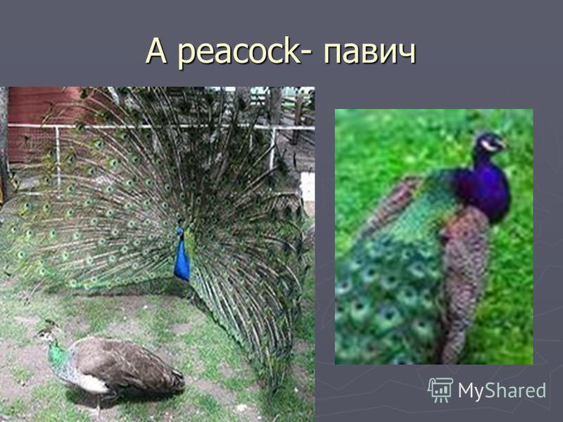 A peacock- павич