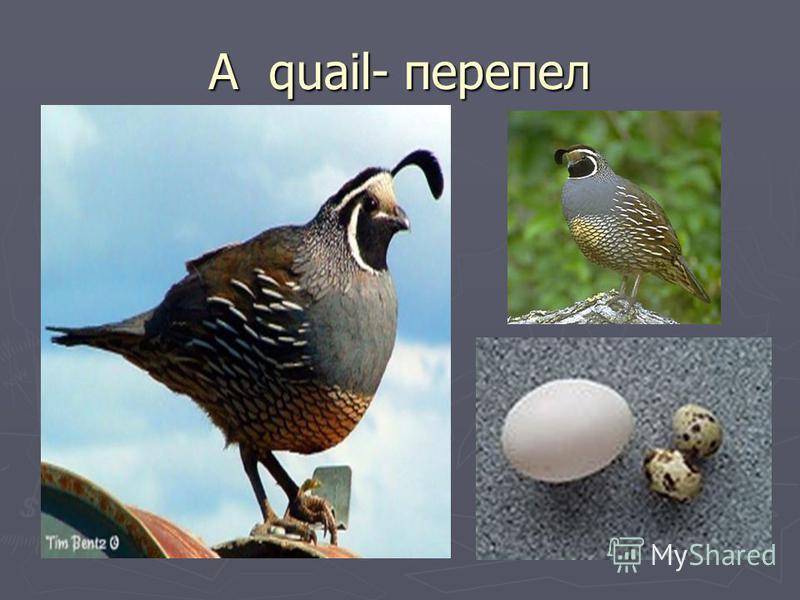 A quail- перепел