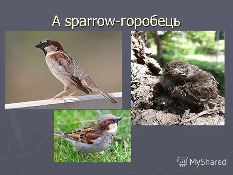 A sparrow-горобець