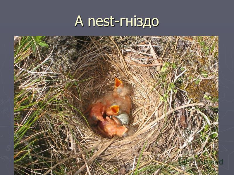 A nest-гніздо