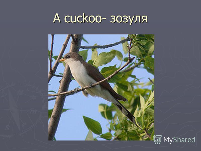 A cuckoo- зозуля