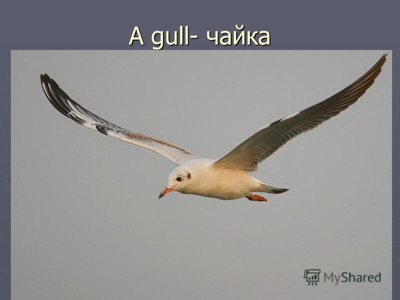 A gull- чайка