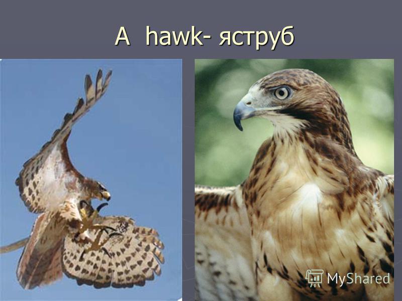 A hawk- яструб A hawk- яструб