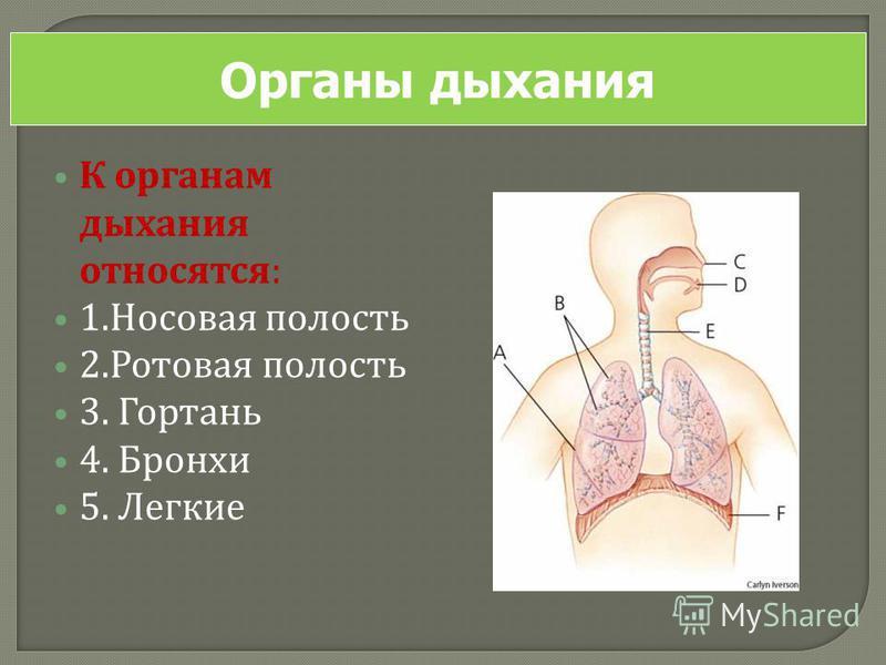 К органам дыхания относятся : 1. Носовая полость 2. Ротовая полость 3. Гортань 4. Бронхи 5. Легкие Органы дыхания