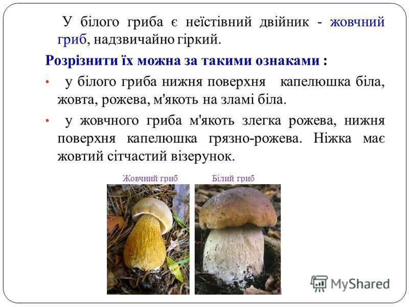 У білого гриба є неїстівний двійник - жовчний гриб, надзвичайно гіркий. Розрізнити їх можна за такими ознаками : у білого гриба нижня поверхня капелюшка біла, жовта, рожева, м'якоть на зламі біла. у жовчного гриба м'якоть злегка рожева, нижня поверхн