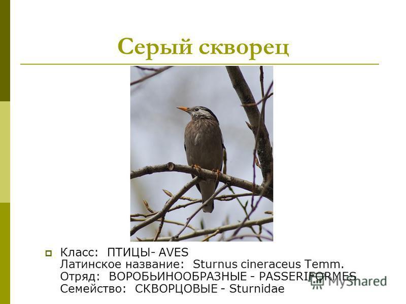 Класс: ПТИЦЫ- AVES Латинское название: Sturnus cineraceus Temm. Отряд: ВОРОБЬИНООБРАЗНЫЕ - PASSERIFORMES Семейство: СКВОРЦОВЫЕ - Sturnidae