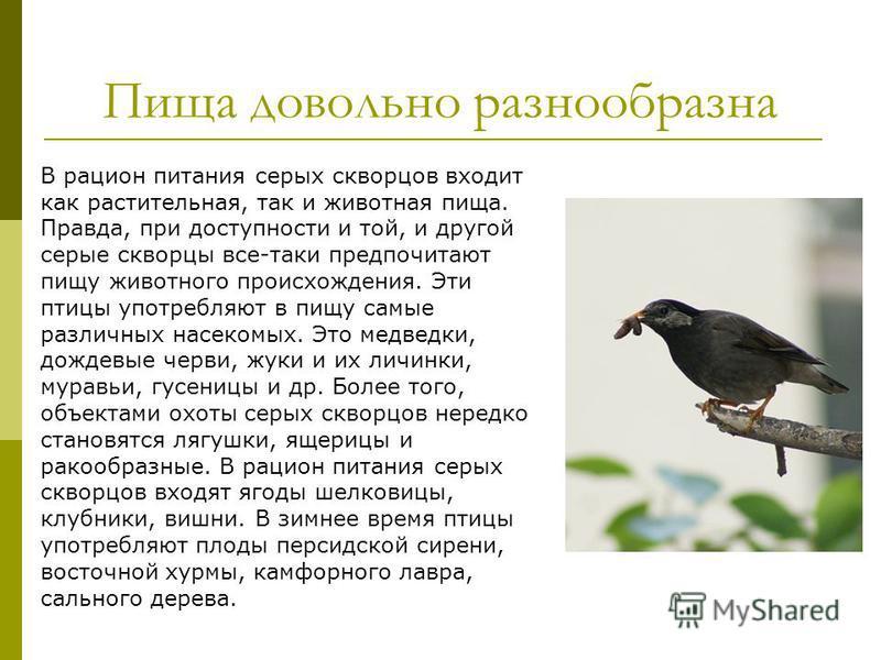 Пища довольно разнообразна В рацион питания серых скворцов входит как растительная, так и животная пища. Правда, при доступности и той, и другой серые скворцы все-таки предпочитают пищу животного происхождения. Эти птицы употребляют в пищу самые разл