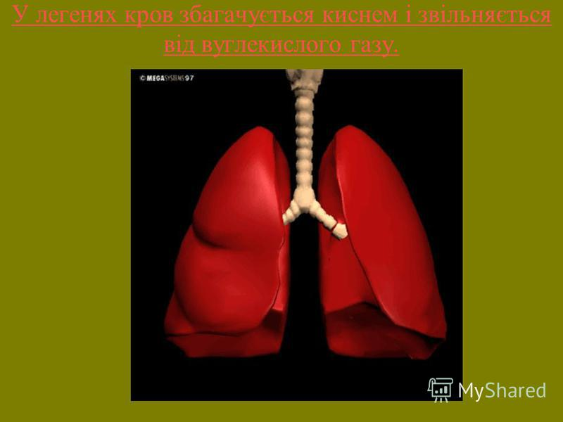 У легенях кров збагачується киснем і звільняється від вуглекислого газу.
