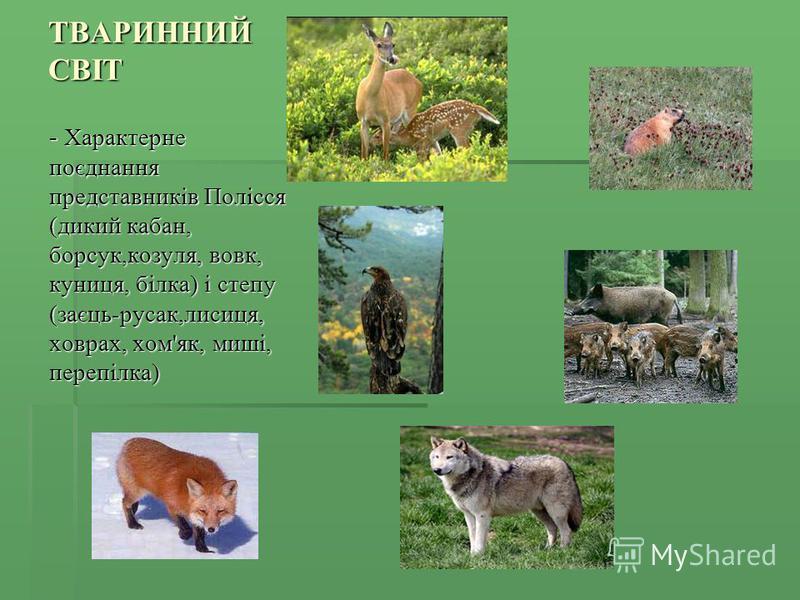 ТВАРИННИЙ СВІТ - Характерне поєднання представників Полісся (дикий кабан, борсук,козуля, вовк, куниця, білка) і степу (заєць-русак,лисиця, ховрах, хом'як, миші, перепілка)