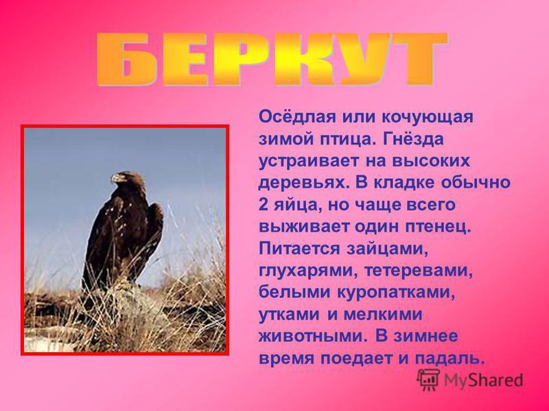 Осёдлая или кочующая зимой птица. Гнёзда устраивает на высоких деревьях. В кладке обычно 2 яйца, но чаще всего выживает один птенец. Питается зайцами, глухарями, тетеревами, белыми куропатками, утками и мелкими животными. В зимнее время поедает и пад