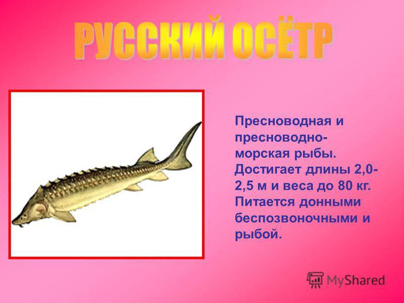Пресноводная и пресноводно- морская рыбы. Достигает длины 2,0- 2,5 м и веса до 80 кг. Питается донными беспозвоночными и рыбой.