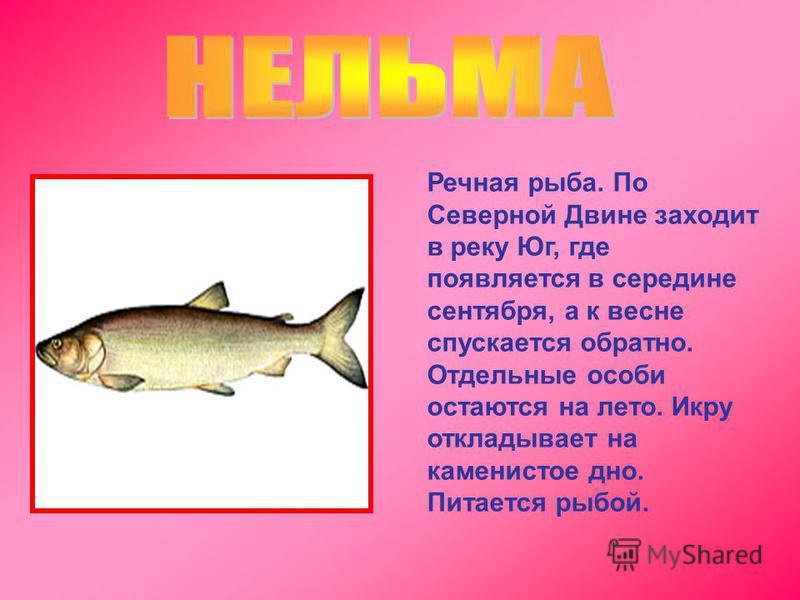 Речная рыба. По Северной Двине заходит в реку Юг, где появляется в середине сентября, а к весне спускается обратно. Отдельные особи остаются на лето. Икру откладывает на каменистое дно. Питается рыбой.