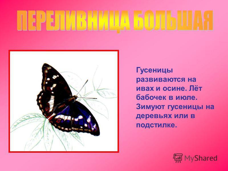 Гусеницы развиваются на ивах и осине. Лёт бабочек в июле. Зимуют гусеницы на деревьях или в подстилке.