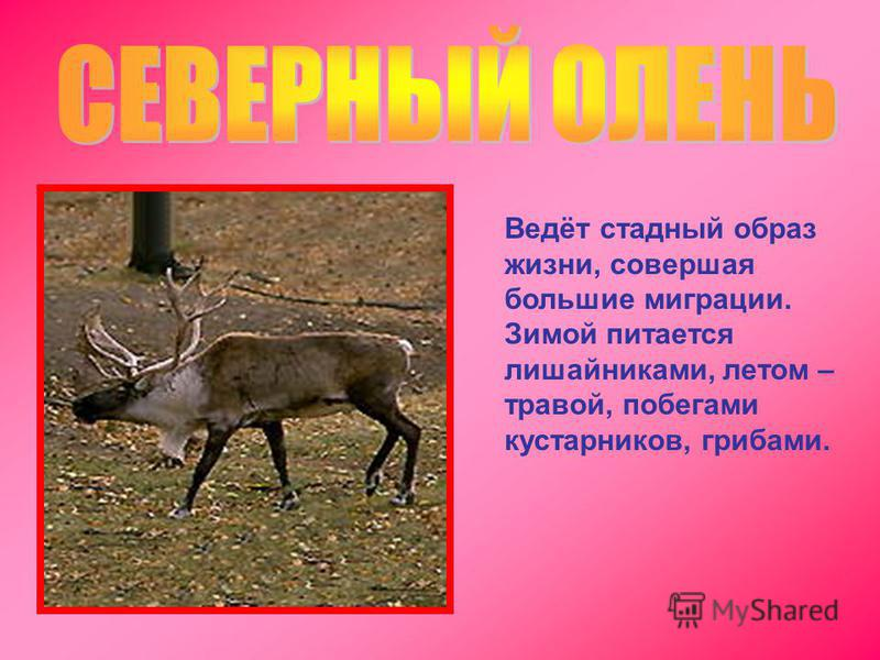 Ведёт стадный образ жизни, совершая большие миграции. Зимой питается лишайниками, летом – травой, побегами кустарников, грибами.