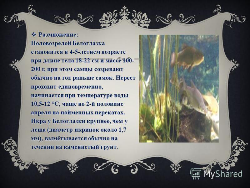 Размножение: Половозрелой Белоглазка становится в 4-5-летнем возрасте при длине тела 18-22 см и массе 100- 200 г, при этом самцы созревают обычно на год раньше самок. Нерест проходит единовременно, начинается при температуре воды 10,5-12 °С, чаще во