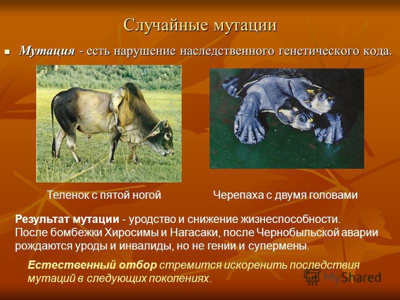 Случайные мутации Мутация - есть нарушение наследственного генетического кода. Черепаха с двумя головами Теленок с пятой ногой Результат мутации - уродство и снижение жизнеспособности. После бомбежки Хиросимы и Нагасаки, после Чернобыльской аварии ро