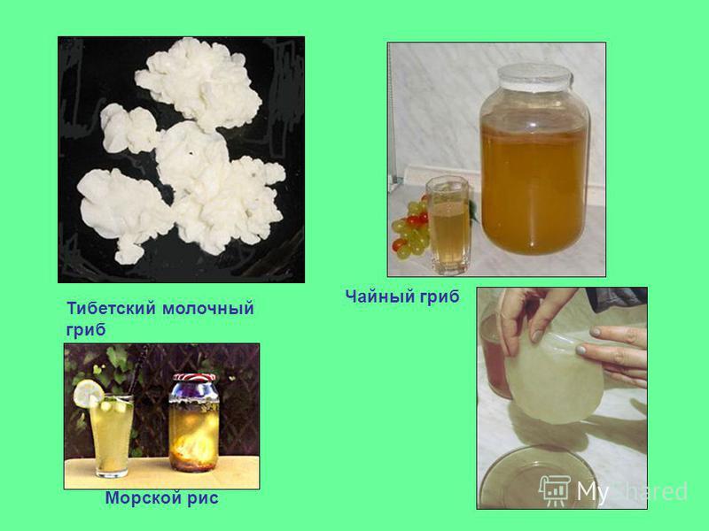 Тибетский молочный гриб Чайный гриб Морской рис