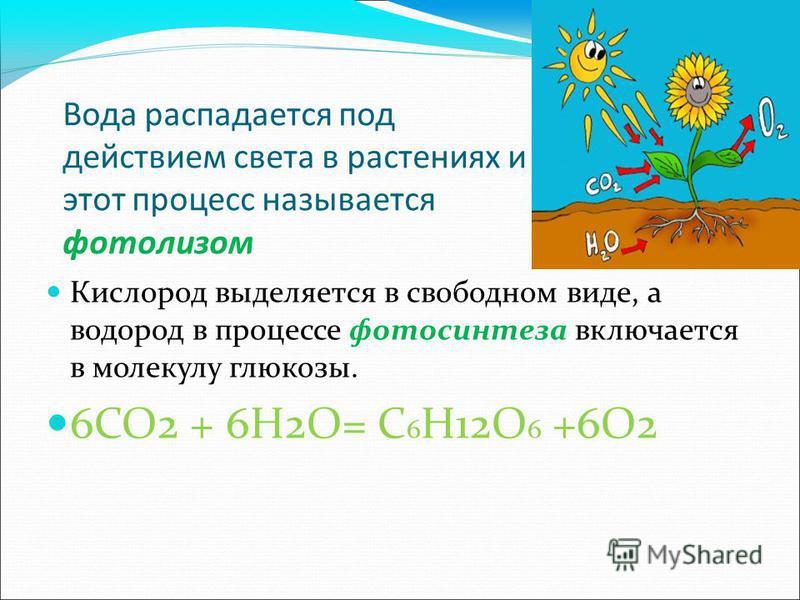 Вода распадается под действием света в растениях и этот процесс называется фотолизом Кислород выделяется в свободном виде, а водород в процессе фотосинтеза включается в молекулу глюкозы. 6СО2 + 6Н2О= С 6 Н12О 6 +6О2