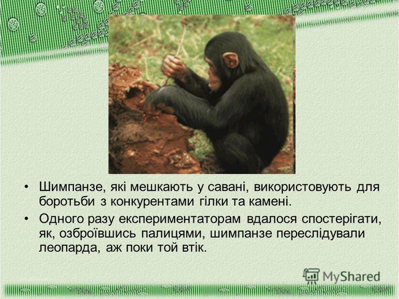 Шимпанзе, які мешкають у савані, використовують для боротьби з конкурентами гілки та камені. Одного разу експериментаторам вдалося спостерігати, як, озброївшись палицями, шимпанзе переслідували леопарда, аж поки той втік.