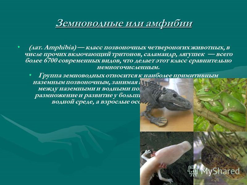 Земноводные или амфибии (лат. Amphibia) класс позвоночных четвероногих животных, в числе прочих включающий тритонов, саламандр, лягушек всего более 6700 современных видов, что делает этот класс сравнительно немногочисленным. Группа земноводных относи