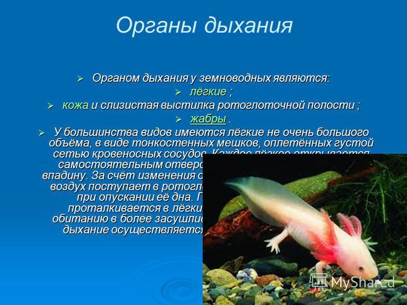 Органы дыхания Органом дыхания у земноводных являются: Органом дыхания у земноводных являются: лёгкие ; лёгкие ; кожа и слизистая выстилка ротоглоточной полости ; кожа и слизистая выстилка ротоглоточной полости ; жабры. жабры. жабры У большинства вид