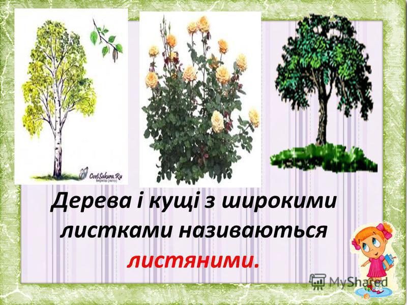 Дерева і кущі з широкими листками називаються листяними.