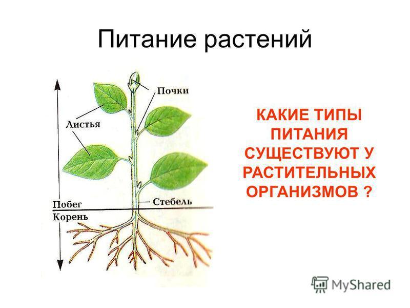 Питание растений КАКИЕ ТИПЫ ПИТАНИЯ СУЩЕСТВУЮТ У РАСТИТЕЛЬНЫХ ОРГАНИЗМОВ ?